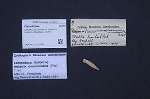 Lampedusa (gastropod) - Lampedusa imitatrix