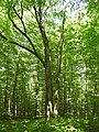 Naturdenkmal Vier-Buchen auf dem Karnberg im Werra-Meißner-Kreis.jpg