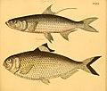 Naturgeschichte in Bildern mit erläuterndem Text (Taf. CXXX) (6059229094).jpg
