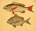 Naturgeschichte in Bildern mit erläuterndem Text (Taf. LXXXII) (6059218658).jpg