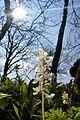 Naturschutzgebiet Ith - Lerchensporn (18).jpg