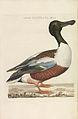 Nederlandsche vogelen (KB) - Anas clypeata (253pl).jpg