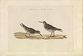 Nederlandsche vogelen (KB) - Calidris maritima (442b).jpg
