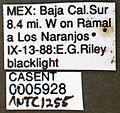 Neivamyrmex mojave casent0005928 label 1.jpg