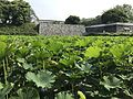 Nelumbo nucifera near site of Kaminohashi Gomon Gate of Fukuoka Castle 4.jpg