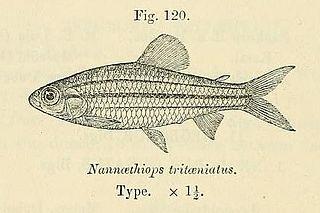 <i>Neolebias</i> genus of fishes