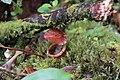 Nepenthes densiflora (8188953290).jpg