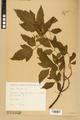 Neuchâtel Herbarium - Acer negundo - NEU000026057.tiff