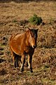 New Forest pony, Holmsley - geograph.org.uk - 624913.jpg