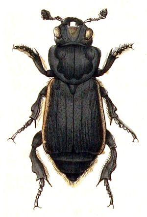 Burying beetle - N. germanicus
