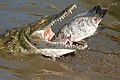Nile Crocodile (Crocodylus niloticus) trying to swallow a big Tilapia (Oreochromis sp.)... (16833464452).jpg