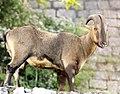 Nilgiri tahr DSC9863 v1.jpg
