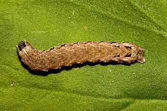 Lesser yellow underwing - Image: Noctua.comes.6968