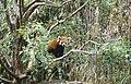 Noichi zoo5 Lesser panda.jpg