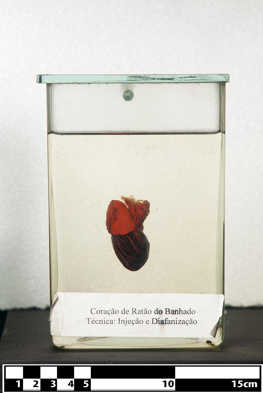 Nutria heart. (Myocastor coypus)