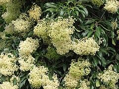 240px nuxia floribunda