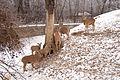 Nyíregyháza Zoo - Goats in winter.jpg