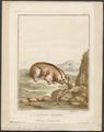 Nycticebus tardigradus - 1810-1819 - Print - Iconographia Zoologica - Special Collections University of Amsterdam - UBA01 IZ19700116.tif
