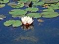 Nymphaea alba-ffm18.jpg