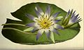 Nymphaea caerulea00.jpg