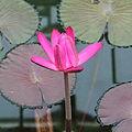 Nymphaea sp.-IMG 7040.jpg