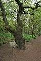 Oak tree by the path - geograph.org.uk - 1334899.jpg