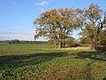 Oaks in farmland, Upton, Peterborough - geograph.org.uk - 87421.jpg