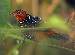 Ocellated tapaculo species of bird