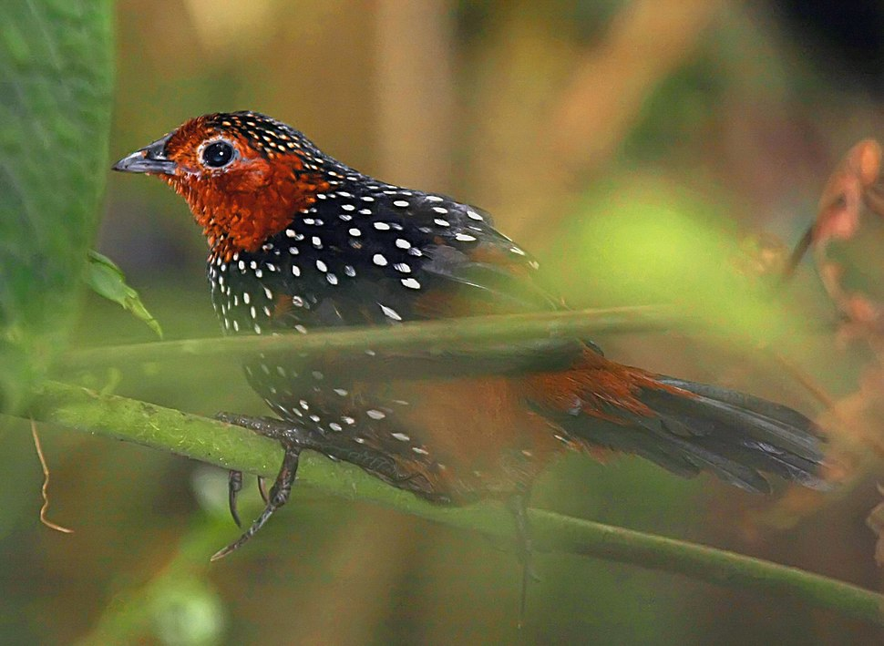 Ocellated Tapaculo (Acropternis orthonyx)