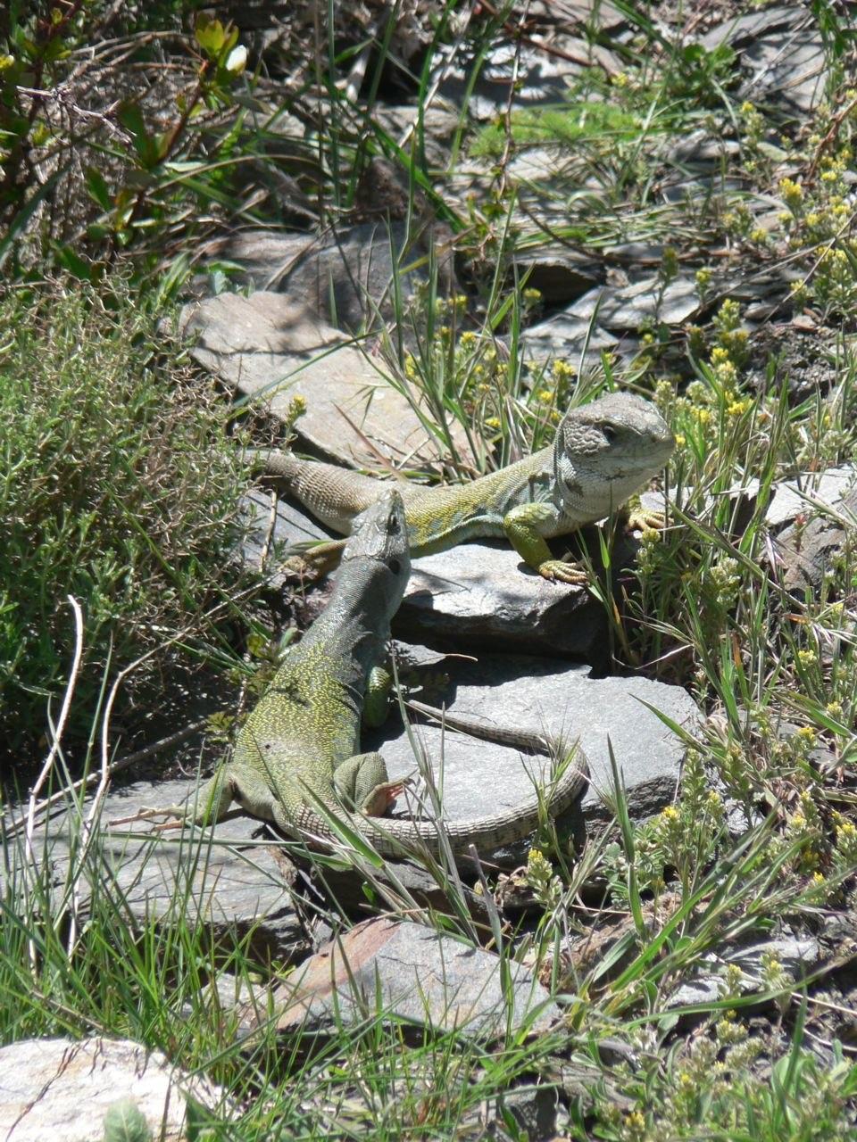 Ocellated lizard, Timon lepidus, male and female Sierra Nevada, Spain