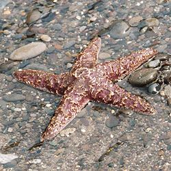 Ochre sea star on beach, Olympic National Park USA.jpg