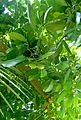 Ochrosia elliptica kz3.jpg