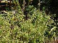 Ocimum ¿ kilimandscharicum ? (6674295441).jpg