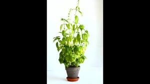 File:Ocimum basilicum.ogv