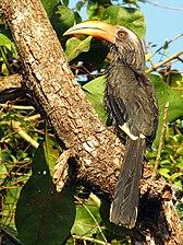 Ocyceros griseus -Kerala, India -male-8a.jpg