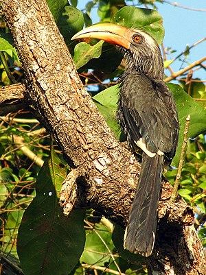 Malabar grey hornbill - Male in Kerala, India