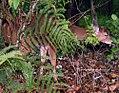 Odocoileus virginianus truei 3zz.jpg