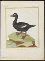 Oidemia fusca - 1700-1880 - Print - Iconographia Zoologica - Special Collections University of Amsterdam - UBA01 IZ17700147.tif