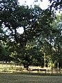 Old Oak , The Grove - geograph.org.uk - 29705.jpg