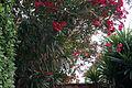 Oleander 18 2013-07-10.jpg