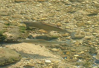 Allier (river) - Grayling in a sunny pool