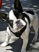 french bulldog wiki french bulldog wikipedia 9436