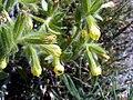 Onosma tricerosperma subsp granatensis Closeup SierraNevada.jpg