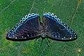 Open wing position of Stibochiona nicea Gray, 1846 – Popinjay WLB DSC 1005.jpg