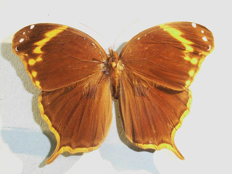 Bộ sưu tập cánh vẩy 6 800px-Opopteraarsippe