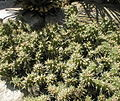 Opuntia fragilis 03.jpg