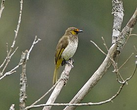 Orange-spotted Bulbul (Pycnonotus bimaculatus) - Flickr - Lip Kee (1).jpg