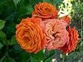 Orange Roses Close-Up - Flickr - aleksei86photo.jpg