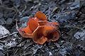 Orange fungi, Maramures.jpg