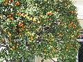 Orange tree in Menton.jpg